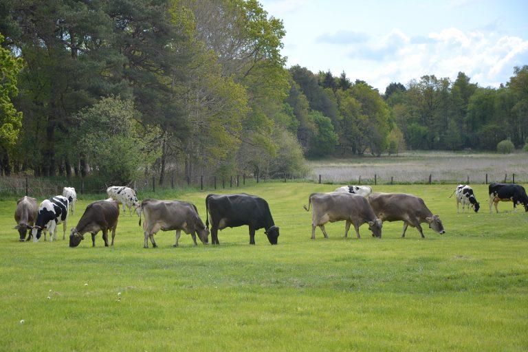 Unsere Kühe auf der Weide, Jithofer Käserei